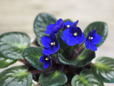 Home flowers. Blue violet with a yellow center in a pot on a background of an ancient wooden background.