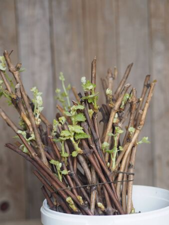 Propagation of grapes by cuttings. Green sprouts from buds on cuttings. Ancient wooden natural background. Home gardening technique for new vines.