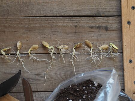 Agriculture. Preparation for spring sowing. Seeds gave sprouts and roots. Runs with young green leaves on a wooden rustic background with tools.
