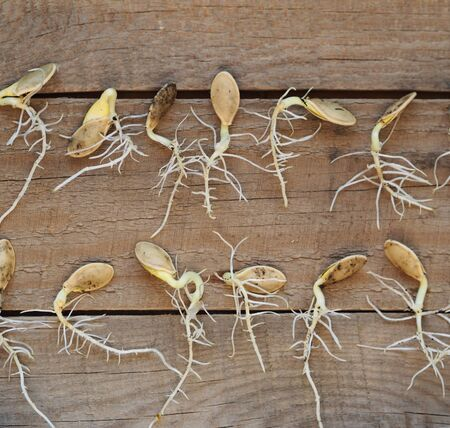 Agriculture. Preparation for spring sowing. Seeds gave sprouts and roots. Runs with young green leaves on a wooden rustic background with tools. Banque d'images