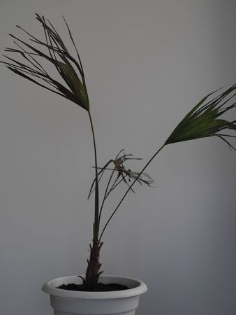 Brochea palm at home. Negative conditions. Dried leaves. Not enough moisture.