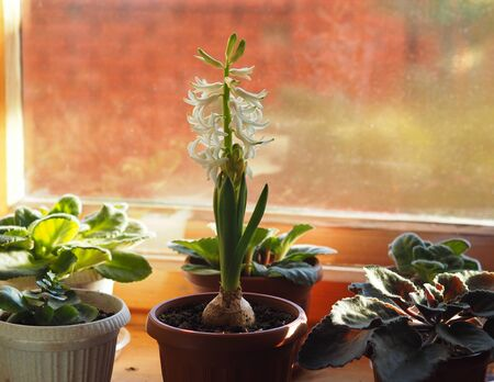Young plant geocint with green leaves and white flowers on the window with other home plants.In everyday life, they call the rain flower.