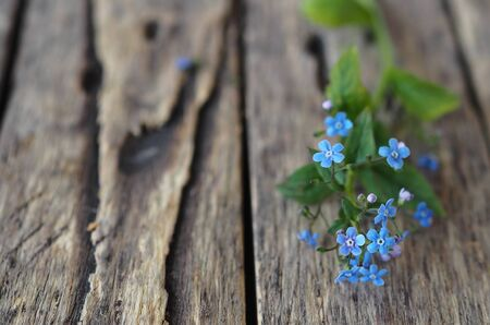 Floral background. Tender blue spring forget-me-not flowers on a wooden ancient table. Place for text.