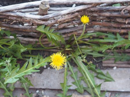 Spring background. A corner of the garden with a yellow dandelion near a low fence of wattle.