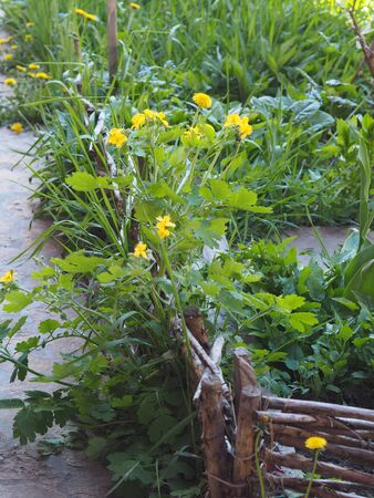 Spring medicinal background.Overgrown garden corner with flowering medicinal plant celandine near a low fence of wattle.