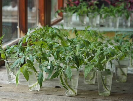 Agricultural background.We grow tomato seedlings at home. Glasses with rooted tomato sprouts on a wooden table. Ready for planting. Stock Photo