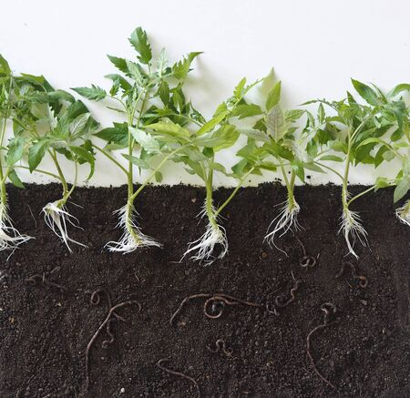 A visual guide to how earthworms live in the soil and help loosen the earth.Layout of tomato plants with roots in the soil and earthworms.