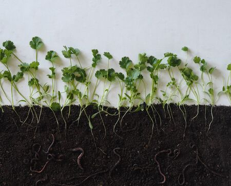 Botany. A layout about how earthworms live in the soil and help loosen the earth.Layout of coriander seasoning plants with roots in the soil and earthworms.