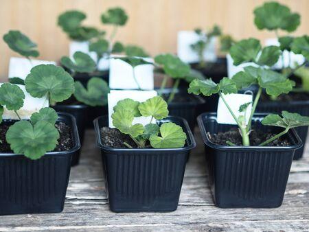 Vestibulum flora. Rememdium sero de geraniums plantavit in nigrum ollis pro semino. Geranium, Pelargonium.