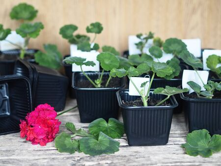 Medicinal plant background. The reproduction of plants.Green seedlings of medicinal geranium Pelargonium grow in black pots for seedlings. Stock Photo