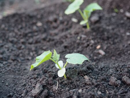 Agricultural industry. Young cucumber plants in the vegetable garden on the plot.