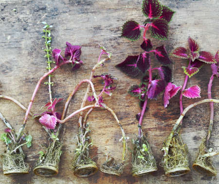 Floriculture. Seedling of red kelius flowers with roots, ready for planting. Banque d'images