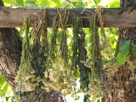 The season for harvesting medicinal herbs.Bunches of medicinal herbs are suspended and dried naturally under a tree. Drying process. 免版税图像