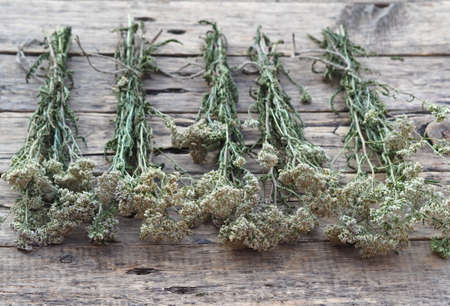 The season for harvesting medicinal herbs.Bunches of medicinal yarrow with white flowers are laid out and dried naturally on a wooden background.