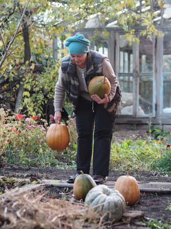 An elderly woman has grown pumpkins in her vegetable garden and is busy harvesting a pumpkin field. Autumn agricultural work. 免版税图像