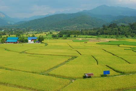 cornfield: cornfield and sky