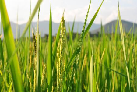 champ de mais: champ de maïs et le ciel Banque d'images