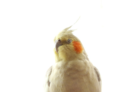 a cockatiel with his eyes closed