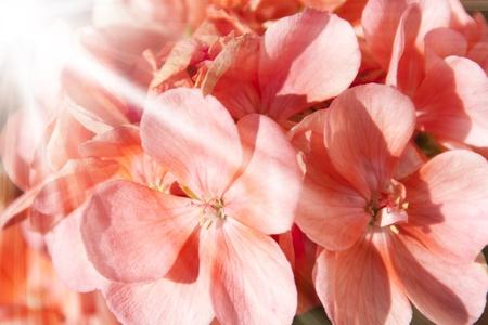 hojas: geranios