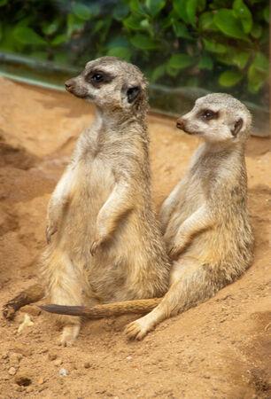 meerkats Stock Photo
