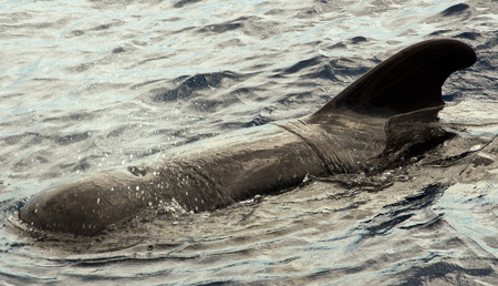 cetacean: Calderon Stock Photo