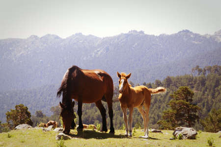 mare and foal: Mare and foal. Horses in the mountains Stock Photo