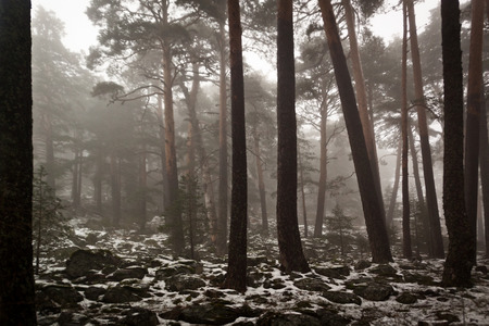 Path through a golden forest with fog and warm light. Snow in the pine forest. Mysterious scene 스톡 콘텐츠