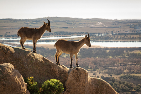 Wilde Ziegen auf einem Stein in La Pedriza, Spanien. Ländliche und Berglandschaft im Nationalpark Sierra de Guadarrama