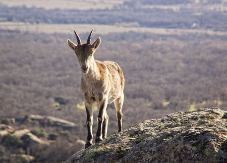 Wild goats on a stone in La Pedriza, Spain. Rural and mountain landscape in Sierra de Guadarrama National Park