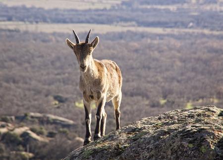 Wild goats on a stone in La Pedriza, Spain. Rural and mountain landscape in Sierra de Guadarrama National Park 版權商用圖片 - 121475172