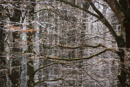 Beech in autumn, enchanted forest of Urbasa, Navarra. Itinerary of the mountaineers, Spain