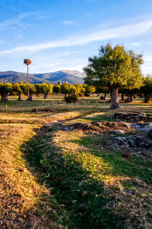Isolated and pruned trees in the Soto de Revenga. Sierra de Guadarrama national park, in Segovia and Madrid.
