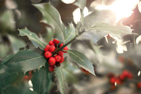 Photograph of holly leaves with red berries, very bright background with sparkles. Christmas symbol for holiday cards and decoration 免版税图像