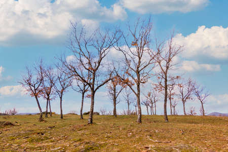 Oak trees in winter in El Espinar, in Segovia. Sierra de Guadarrama National Park. Panoramic photography of isolated trees