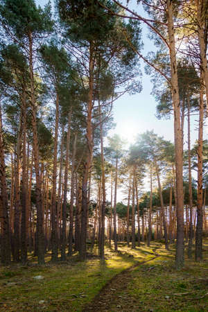 Panoramic photography of pine forest in the Sierra de Guadarrama National Park, in Segovia and Madrid Reklamní fotografie