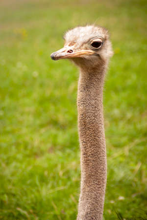 Ostrich portrait photography in freedom. Struthio camelus in Cabarceno natural park in Cantabria