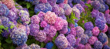 Purple hydrangea in the garden. Bouquet of hydrangea. Bush of beautiful blooming Hydrangea flower.