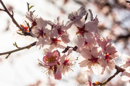 Almond blossoms in early spring. Cluster of delicate flowers, growing tree. Floral background with pastel colors