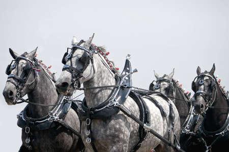 horse pull: Wroking Draft Horse Team