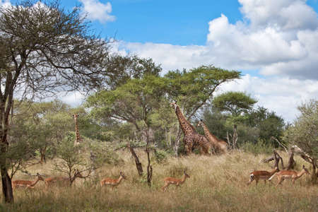 Impala: A herd of Impala running past three African Giraffes in the South Africa. Focus on Giraffe