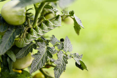 tomato caterpillar: Tomato Hornworm on Tomato Plant with copy space