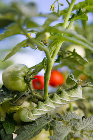 Closeup of Tomato Hornworm eating tomato plant photo