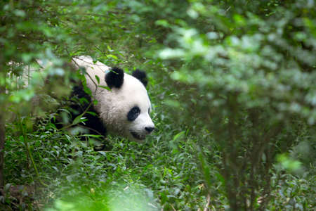 bamboo forest: Chinese Giant Panda Stock Photo