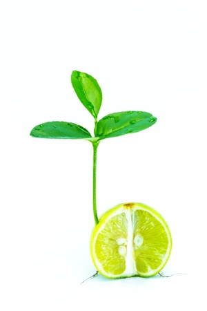 cleave: Close up photo of small lemon tree isolated against white background.