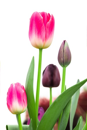 pink tulip with purple tulip