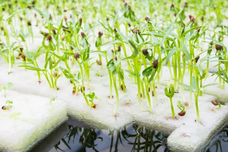 soilless cultivation: soilless culture or hydroponic technology in glasshouse Stock Photo