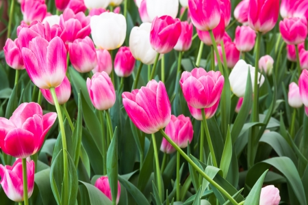 pink tulip with white tulip