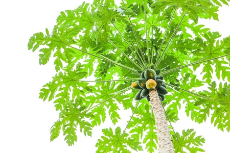 Bunch of papayas hanging from the tree on white background