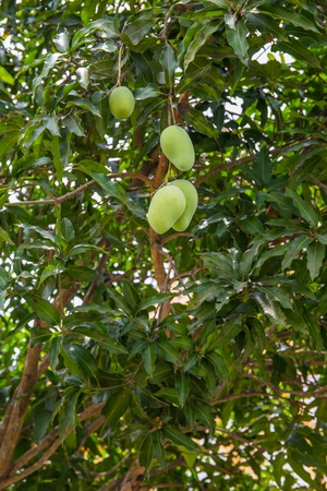 A mango tree with full of fruits Stock Photo - 18960617
