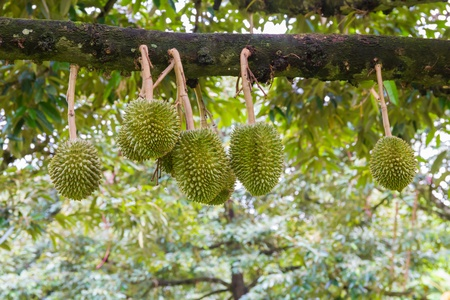 Durian, king of fruit, famous fruit in Thailand